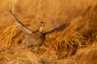 Grouse - Prairie Chicken - IMG104__6645