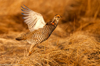 Grouse - Prairie Chicken - IMG104__6631