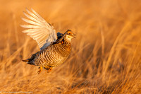 Grouse - Prairie Chicken - IMG104__6585