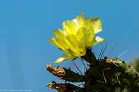 Cacti - Prickly Pear - IMG104__9999_32