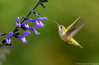 Hummingbird - Ruby Throated - IMG121_9256