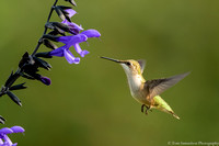 Hummingbird - Ruby Throated - IMG121_9283