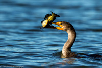 Cormorantl - Double Crested  - IMG122_1838
