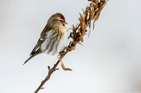 Redpoll - Common  - IMG122_2856