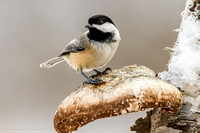 Chickadee - Black Capped - IMG122_4279