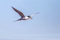 Tern - Forsters - IMG125_1451