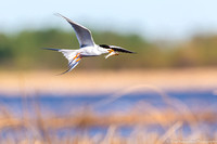 Tern - Forsters - IMG125_1234