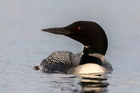 Loon - Common - IMG125_4703