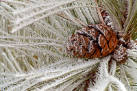 Norway Pine Cone and Hoar Frost