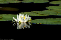 Water Lily - IMG102_2360