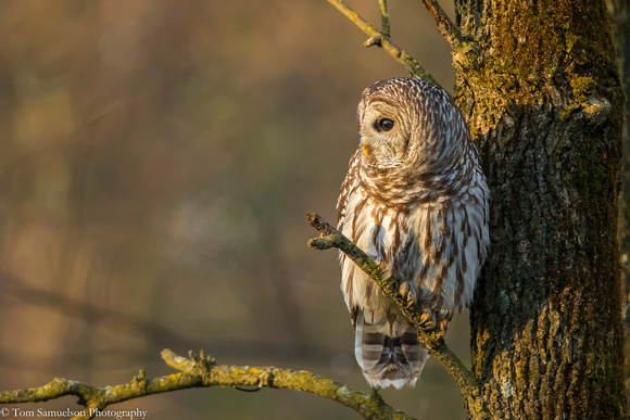Owl - Barred - IMG110_1437
