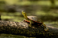 Turtle - Painted - IMG120_9280