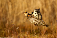 Grouse - Prairie Chicken - IMG120__5312