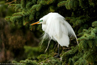 Egret - Great - IMG120__6121