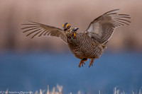 Grouse - Prairie Chicken - IMG104__6063