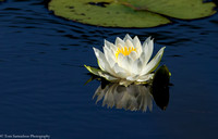 Water Lily - IMG102_2375