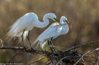 Egret - Great - IMG120__4489