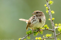 Sparrow - Song - IMG121__5790
