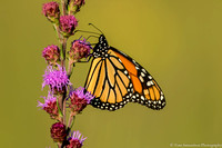 Butterfly - Monarch - IMG109__7115