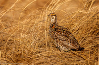 Grouse - Prairie Chicken - IMG104__6689